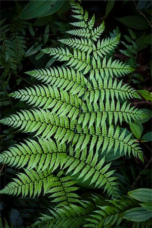 foliage - Fern, Kinsakubaru Primary Forest, Amami Oshima, Amami Islands, Kagoshima Prefecture, Japan Stock Photo - Rights-Managed, Code: 700-05837457