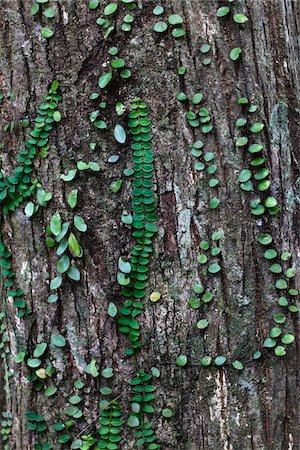 foliage - Vines on Tree Trunk, Kinsakubaru Primary Forest, Amami Oshima, Amami Islands, Kagoshima Prefecture, Japan Stock Photo - Rights-Managed, Code: 700-05837458