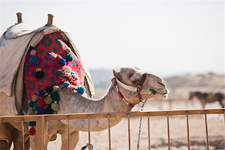 Camel at Pyramids of Giza, Cairo, Egypt Stock Photo - Rights-Managed, Code: 700-05855189