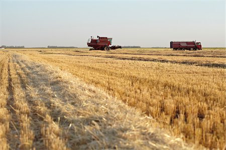 Axial-Flow Combines Harvesting Wheat in Field, Starbuck, Manitoba, Canada Stock Photo - Rights-Managed, Code: 700-05973567