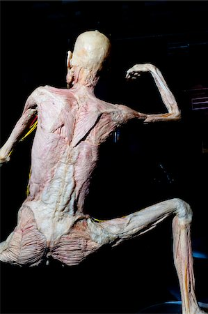 Rear View of Plastinated Human Body Without Skin Stock Photo - Rights-Managed, Code: 700-06038082