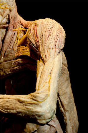 exhibition - Plastinated Human Shoulder and Arm Stock Photo - Rights-Managed, Code: 700-06038095