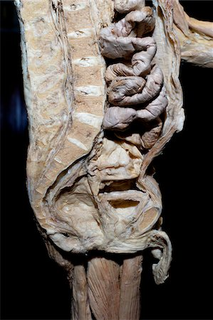 Plastinated Human Male Sagital Section of Spinal Column, Abdominal Cavity and Pelvis Stock Photo - Rights-Managed, Code: 700-06038091