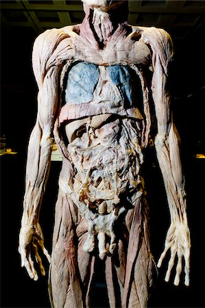Plastinated Male Human Body Without Skin or Fat Tissue Stock Photo - Rights-Managed, Code: 700-06038093
