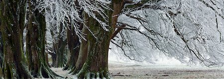 Beech Trees in Winter with Heavy Frost Stock Photo - Rights-Managed, Code: 700-06059814
