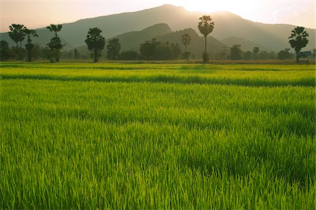 Rice Fields, Sukhothai Province, Thailand Stock Photo - Rights-Managed, Code: 700-06119546