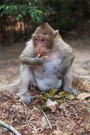 southeast asian - Macaque Monkey Eating Cake Appetizer, Siem Reap, Angkor, Cambodia Stock Photo - Rights-Managed, Code: 700-06199243