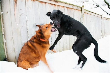 Two Dogs Play Fighting Stock Photo - Rights-Managed, Code: 700-06325452