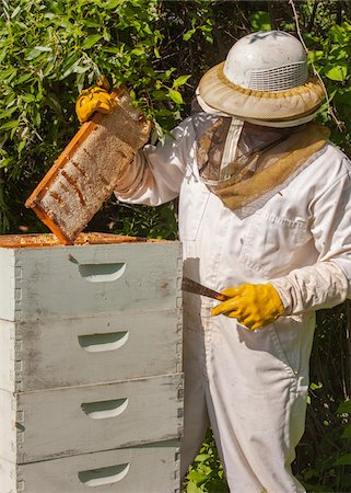 Beekeeper Removing Frame from Hive Stock Photo - Rights-Managed, Code: 700-06334457
