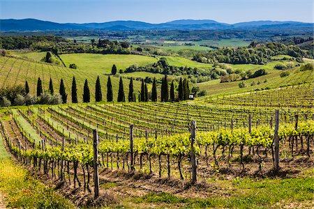 Vineyard, Chianti, Tuscany, Italy Stock Photo - Rights-Managed, Code: 700-06367859