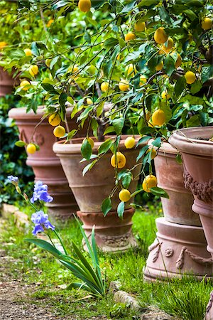 potted plant - Lemon Trees in Panzano, Chianti, Tuscany, Italy Stock Photo - Rights-Managed, Code: 700-06367853