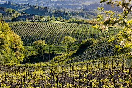 Vineyard, San Gimignano, Siena Province, Tuscany, Italy Stock Photo - Rights-Managed, Code: 700-06367915