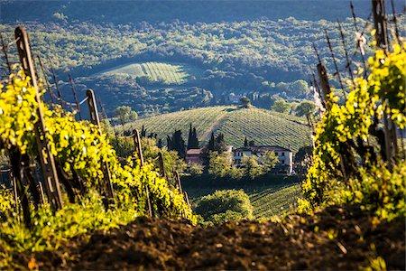 Vineyard, San Gimignano, Siena Province, Tuscany, Italy Stock Photo - Rights-Managed, Code: 700-06367913