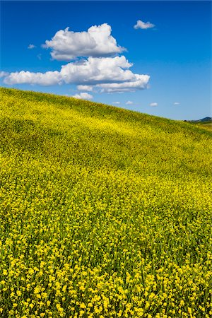 Field of Canola Flowers, San Quirico d'Orcia, Province of Siena, Tuscany, Italy Stock Photo - Rights-Managed, Code: 700-06367950