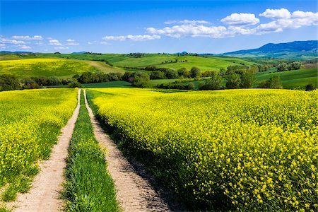 Road Through Field of Canola Flowers, San Quirico d'Orcia, Province of Siena, Tuscany, Italy Stock Photo - Rights-Managed, Code: 700-06367951