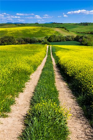 residential - Road Through Field of Canola Flowers, San Quirico d'Orcia, Province of Siena, Tuscany, Italy Stock Photo - Rights-Managed, Code: 700-06367952