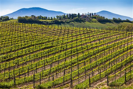 Vineyard, Montalcino, Val d'Orcia, Province of Siena, Tuscany, Italy Stock Photo - Rights-Managed, Code: 700-06368027