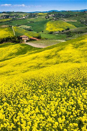 Canola Flowers and Rolling Hillside, Montalcino, Val d'Orcia, Province of Siena, Tuscany, Italy Stock Photo - Rights-Managed, Code: 700-06368032