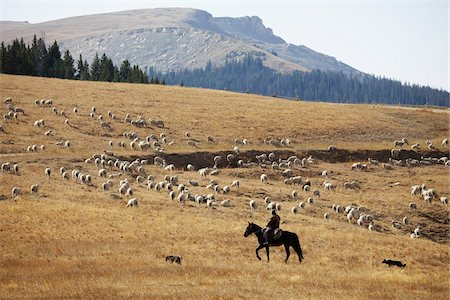 Sheep Herding, Wyoming, USA Stock Photo - Rights-Managed, Code: 700-06383718