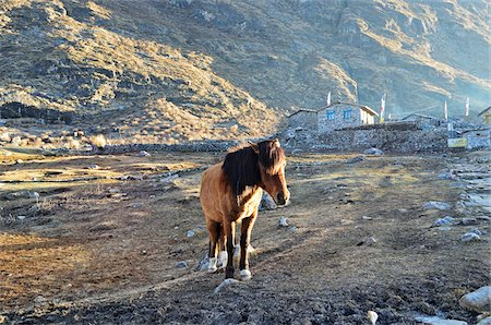 Horse in Village, Kyanjin Gumba, Langtang National Park, Bagmati, Madhyamanchal, Nepal Stock Photo - Rights-Managed, Code: 700-06383822