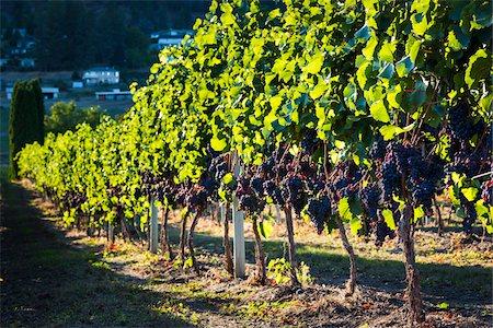 Grapes on Grapevines in Vineyard, Kelowna, Okanagan Valley, British Columbia, Canada Stock Photo - Rights-Managed, Code: 700-06465407