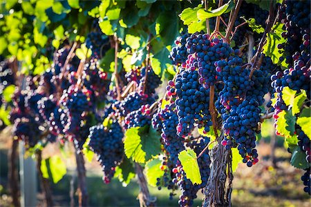 Close-Up of Grapes on Grapevines in Vineyard, Kelowna, Okanagan Valley, British Columbia, Canada Stock Photo - Rights-Managed, Code: 700-06465408