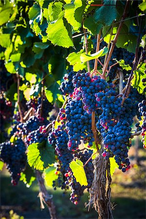 Close-Up of Grapes on Grapevines in Vineyard, Kelowna, Okanagan Valley, British Columbia, Canada Stock Photo - Rights-Managed, Code: 700-06465409