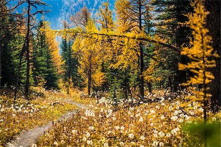 season - Rock Isle Trail Through Autumn Larch, Sunshine Meadows, Mount Assiniboine Provincial Park, British Columbia, Canada Stock Photo - Rights-Managed, Code: 700-06465486