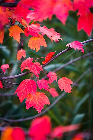 Close-Up of Bright Red Leaves on Tree in Autumn Stock Photo - Rights-Managed, Code: 700-06465602
