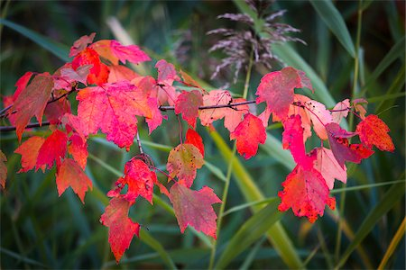 Red Leaves on Branch in Autumn Stock Photo - Rights-Managed, Code: 700-06465603