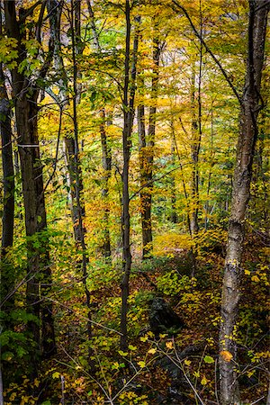 Forest Trees in Autumn, Smugglers Notch, Lamoille County, Vermont, USA Stock Photo - Rights-Managed, Code: 700-06465614