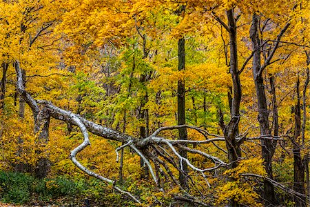 Fallen Tree and Forest Trees in Autumn, Smugglers Notch, Lamoille County, Vermont, USA Stock Photo - Rights-Managed, Code: 700-06465619
