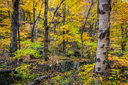 Tree Trunks and Forest Floor in Autumn, Smugglers Notch, Lamoille County, Vermont, USA Stock Photo - Rights-Managed, Code: 700-06465624