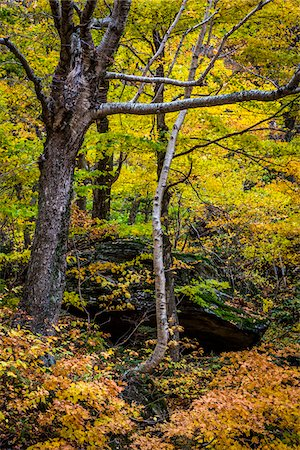 Trees and Boulder in Autumn Forest, Smugglers Notch, Lamoille County, Vermont, USA Stock Photo - Rights-Managed, Code: 700-06465625