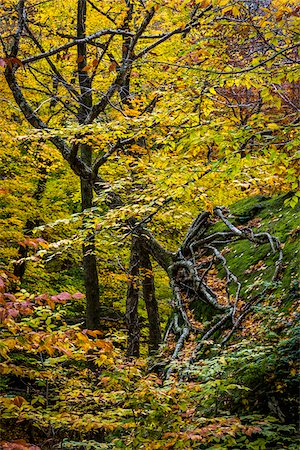 Tree Growing Sideways in Autumn , Smugglers Notch, Lamoille County, Vermont, USA Stock Photo - Rights-Managed, Code: 700-06465626