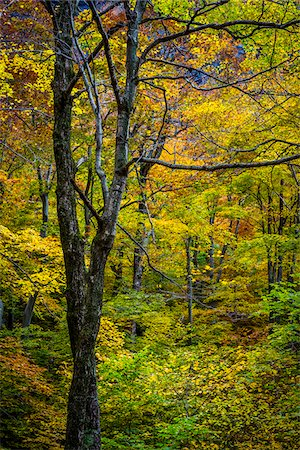 Bare Tree Amongst Lush Foliage in Autumn Forest, Smugglers Notch, Lamoille County, Vermont, USA Stock Photo - Rights-Managed, Code: 700-06465627