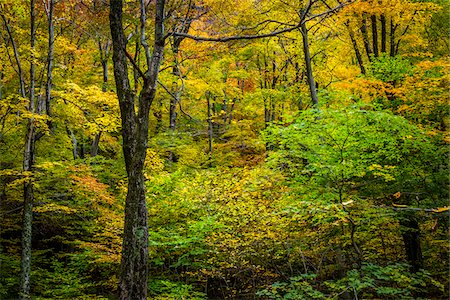 Bare Tree Amongst Forest Foliage in Autumn, Smugglers Notch, Lamoille County, Vermont, USA Stock Photo - Rights-Managed, Code: 700-06465628