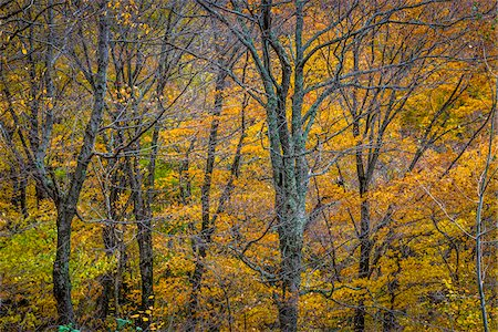 Bare Trees and Autumn Foliage in Forest, Smugglers Notch, Lamoille County, Vermont, USA Stock Photo - Rights-Managed, Code: 700-06465621
