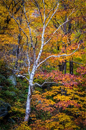 Bare Birch Tree in Forest in Autumn, Smugglers Notch, Lamoille County, Vermont, USA Stock Photo - Rights-Managed, Code: 700-06465623