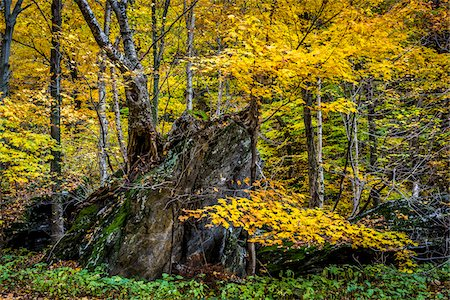 Tree Growing on top of Boulder in Autumn Forest, Smugglers Notch, Lamoille County, Vermont, USA Stock Photo - Rights-Managed, Code: 700-06465630