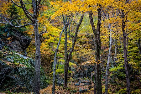 Boulders and Tree Trunks in Forest in Autumn, Smugglers Notch, Lamoille County, Vermont, USA Stock Photo - Rights-Managed, Code: 700-06465633