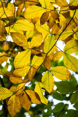 Yellow Autumn Leaves on Tree Branch Stock Photo - Rights-Managed, Code: 700-06465644