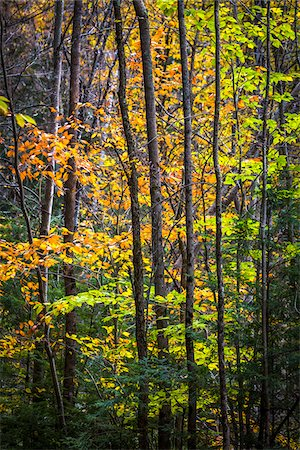 Close-Up of Forest Trees in Autumn, Moss Glen Falls Natural Area, C.C. Putnam State Forest, Lamoille County, Vermont, USA Stock Photo - Rights-Managed, Code: 700-06465649