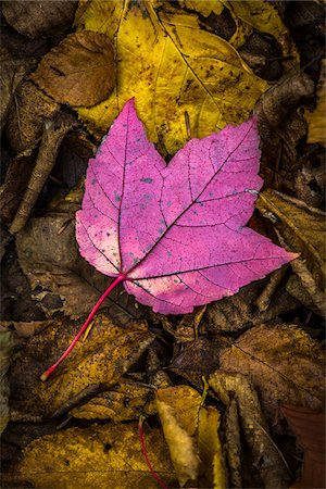 Close-Up of Backside of Red Maple Leaf on Forest Floor Amongst Brown Decomposed Leaves Stock Photo - Rights-Managed, Code: 700-06465659