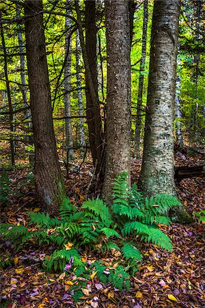 Ferns and Tree Trunks in Forest in Autumn, Moss Glen Falls Natural Area, C.C. Putnam State Forest, Lamoille County, Vermont, USA Stock Photo - Rights-Managed, Code: 700-06465650
