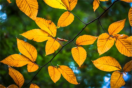 Close-Up of Yellow Autumn Leaves on Tree Branch Stock Photo - Rights-Managed, Code: 700-06465653