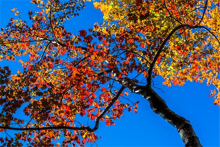 Low Angle View of Deciduous Tree in Autumn Against Blue Sky Stock Photo - Rights-Managed, Code: 700-06465722
