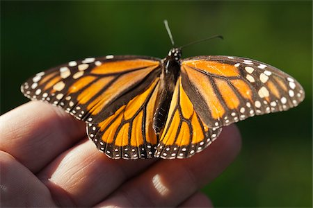 Close-up of Monarch Butterfly on Hand, Ardenwood Regional Preserve, Fremont, California, USA Stock Photo - Rights-Managed, Code: 700-06471346