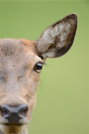 Close-Up of Red Deer's Face (Cervus elaphus) Stock Photo - Rights-Managed, Code: 700-06486492
