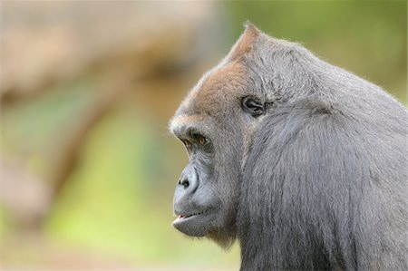endangered animal - Profile of Western Lowland Gorilla (Gorilla gorilla gorilla) Stock Photo - Rights-Managed, Code: 700-06486504